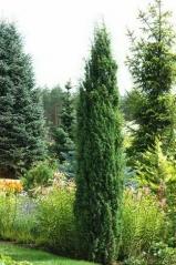 Juniperus 'Hibernica'
