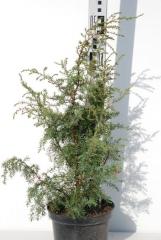 Можжевельник 'Hibernica'посадка
