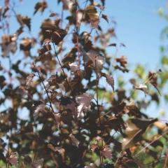 Береза плакучая Пурпуреа листья
