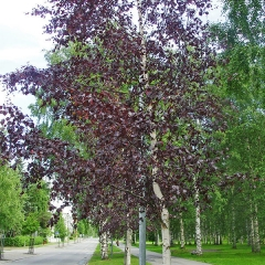 Betula pendula Purpurea