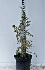 Можжевельник обыкновенный колоновидный в контейнере 5л