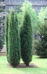 Можжевельник обыкновенный колоновидный