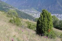 Juniperus communis columnar