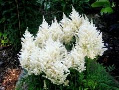 Астильбе Арендса Диамант цветы