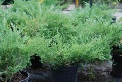 Juniperus horizontalis Andorra Compact