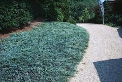 Juniperus horizontalis Blue Chip посадка
