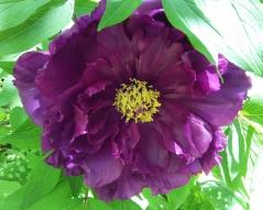 Paeonia suffruticosa Purple