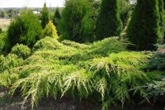 Можжевельник средний Пфитцериана Ауреа <br>Ялівець середній Пфітцеріана Ауреа <br>Juniperus media Pfitzeriana Aurea
