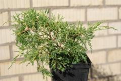 Juniperus pfitzeriana Aurea посадка
