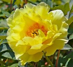 Пион древовидный Еллоу<br>Paeonia suffruticosa Yellow<br>Півонія деревовидна Єллоу