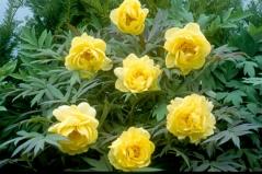Paeonia suffruticosa Yellow