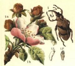 Яблучный цветоед