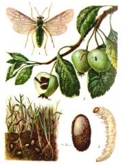 Яблоневый пилильщик