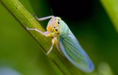 Зеленая цикадка