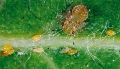 Медяница личинка