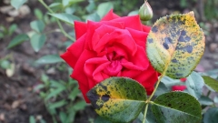 Черная пятнистость розы