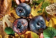 Поверхносная плодовая гниль