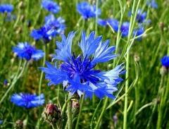 Васелек синий