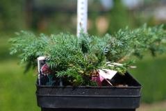 Juniperus squam. 'Blue Carpet'