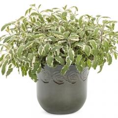Salvia officinalis Tricolor купить в Украине