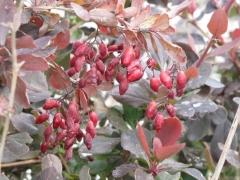 Барбарис обыкновенный съедобный Атропурпуреа<br>Berberis vulgaris Atropurpurea<br>Барбарис звичайний їстівний Атропурпуреа