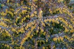 Барбарис обыкновенный Атропурпуреа саженец