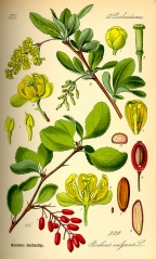 Барбарис съедобный Атропурпуреа плоды