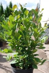 Магнолия гибридная Бетти / Magnolia hybrids Betti уход