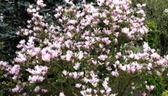 Magnolia 'George Henry Kern'