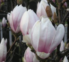 Magnolia soulangeana 'Speciosa'