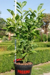 Magnolia stellata 'Rosea''