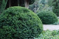 Тис ягодный вечнозеленое растение