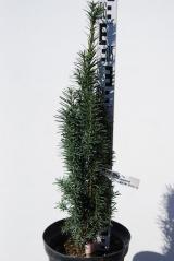 Тис ягодный Fastigiata Robusta 60-65 см