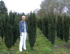 Тис Фастигиата Робуста колоновидний