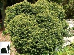 Taxus cuspidata 'Nana'