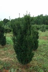 Тис вечнозеленое растение