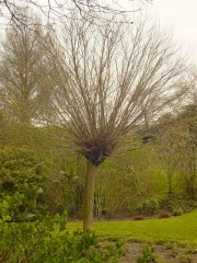 Robinia 'Umbraculifera'
