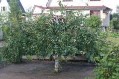 Betula pendula 'Laciniata'