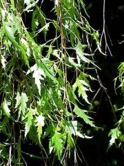 Береза 'Laciniata'  декоративые растения