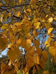Betula pendula питомник декоративных растений