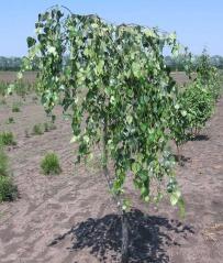 Betula pendula 'Youngii' аллейная (привитая форма)
