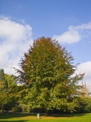 Бук лесной питомник декоративных растений в киеве