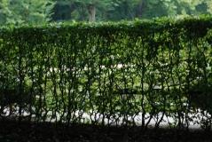 Граб обыкновенный пестролистый Carpinus betulus живая изгородь