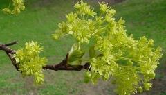 Клён остролистный Друммонди цветы