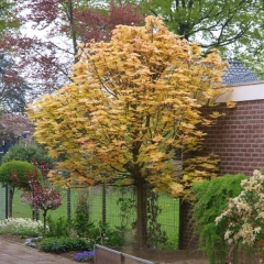 Клен ложноплатановый Бриллиантиссимум дерево