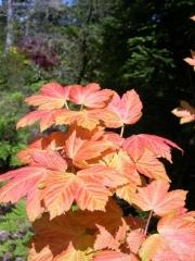 Явор ложноплатановый Бриллиантиссимум - листья