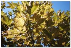 Acer pseudoplatanus 'Nizetti'