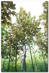 Acer pseudoplatanus 'Nizetti' - питомник декоративных растений в Киеве