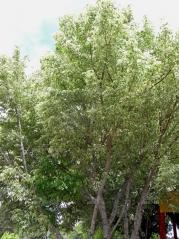 Клен ясенелистный / американский Вариегатум <br>Клен ясенелистий / американський Варієгатум<br>Acer negundo Variegatum