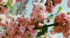 Миндаль Плена цветы